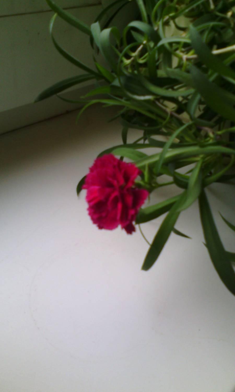Гвоздика комнатная выращивание 65