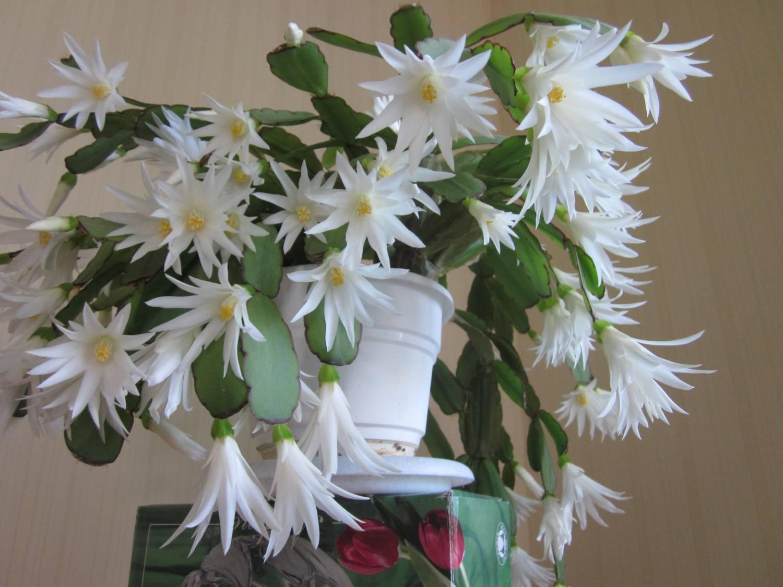 фото декабрист цветок белый