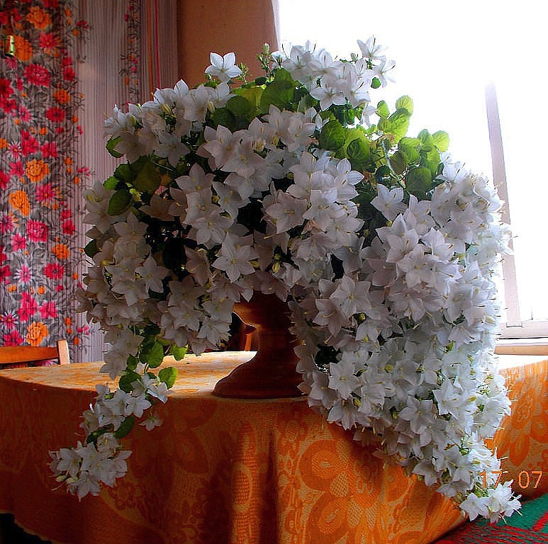 Комнатные цветы жених и невеста цена
